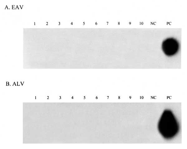 Reverse transcriptase-polymerase chain reaction analysis of sera from measles mumps rubella (MMR) vaccine recipients for the presence of avian leukosis virus (ALV) (A) and endogenous avian retrovirus (EAV) (B) RNA. Lanes 1-10, samples from MMR vaccine recipients. NC, negative control, uninfected human serum; PC, positive control, culture supernatant from Rous-associated virus 0 (RAV-0) infected 15B1 chick embryo fibroblasts.