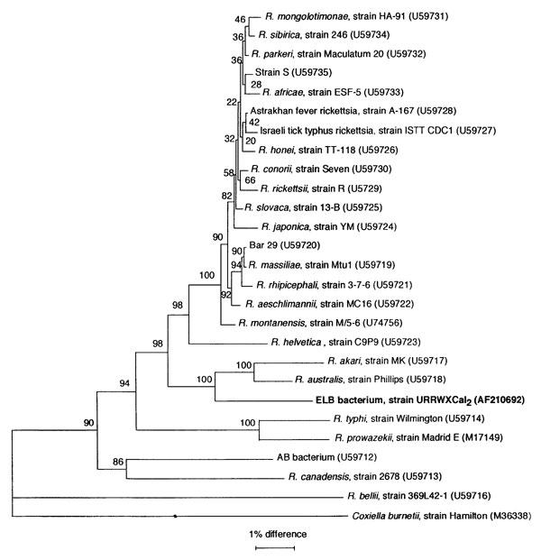 Phylogenetic tree of members of the genus Rickettsia inferred from comparison of gltA sequences by using the neighbor-joining method. Bootstrap values for the nodes are indicated.