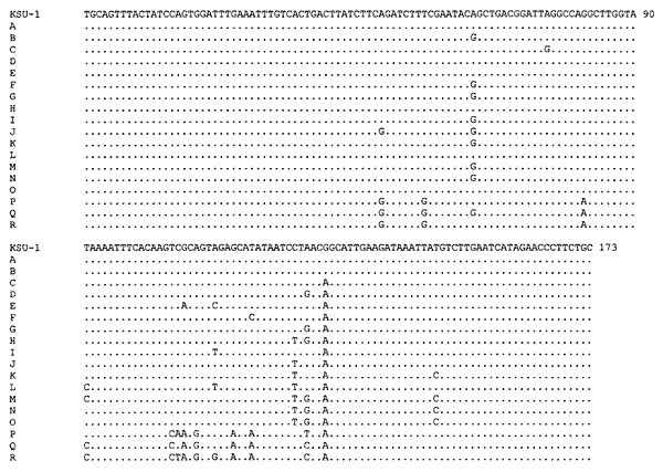 Sequence diversity in the 173-bp fragment of double-stranded RNA of Cryptosporidium parvum. Dots denote nucleotides identical to the KSU-1 isolate of the C. parvum bovine genotype. Representative sequences for each subgenotype were deposited in GenBank under accession numbers AF266262 to AF266277.