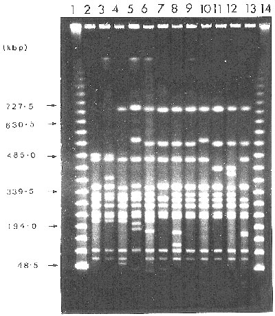 PFGE profiles of XbaI-digested genomic DNA from strains of S. agona PT 15. Legend: Tracks 1-14 contained: 1 and 14, lambda 48.5-kb ladder (Sigma);2, S. agona PFP (XbaI) 6; 3, PFP 6a; 4, PFP 4; 5, PFP 10 (= control PFP type for S. agona); 6, PFP 9; 7, PFP 7; 8, PFP 3; 9, PFP 2; 10, PFP 5; 11, PFP 1; 11, PFP 8; 13, PFP 9. Gels were run at 6.0 V cm-1 for 36 h with a 25- to 75-s pulse ramp time.