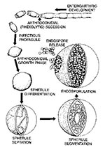 Thumbnail of The dimorphic life cycle of Coccidioides immitis.