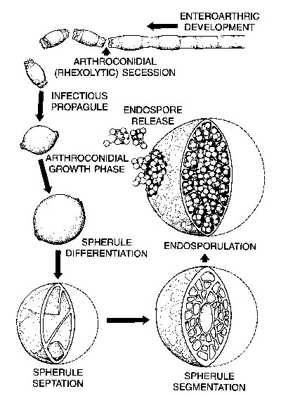 The dimorphic life cycle of Coccidioides immitis.