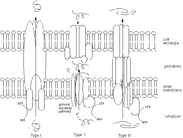 Schematic diagram of type I, type II, and type III secretion systems. All systems use the energy of ATP hydrolysis to drive secretion. Type I and type III secrete proteins across both the inner membrane and the cell envelope (outer membrane) in one step; secreted proteins do not make an intermediate stop in the periplasm, as they do in type II secretion. Type I and type III systems are also similar in that they do not remove any part of the secreted protein. In contrast, the N-terminus of protei