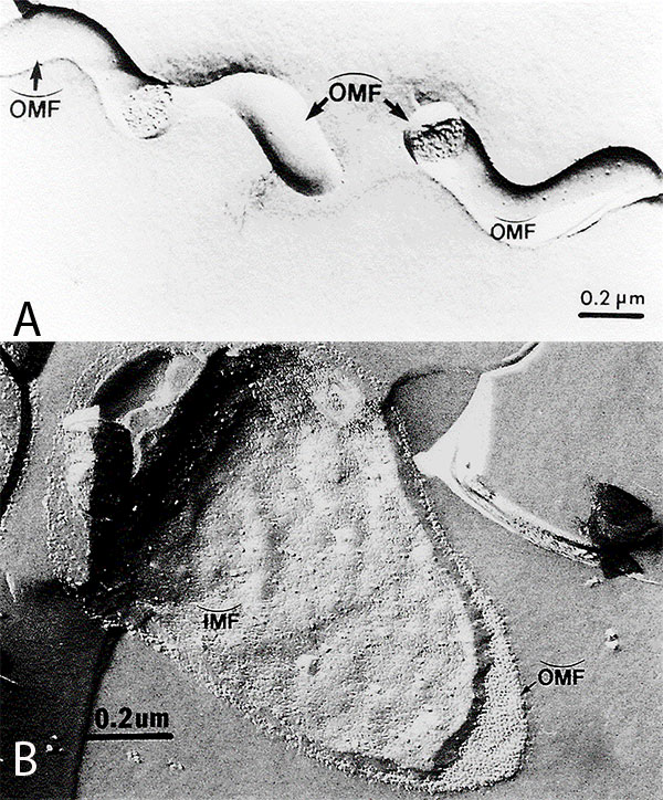Freeze-fracture electron microscopy of Treponema pallidum subsp. pallidum (A), and Escherichia coli (B). Concave and convex outer membrane (OMF) and inner membrane (IMF) fracture faces.