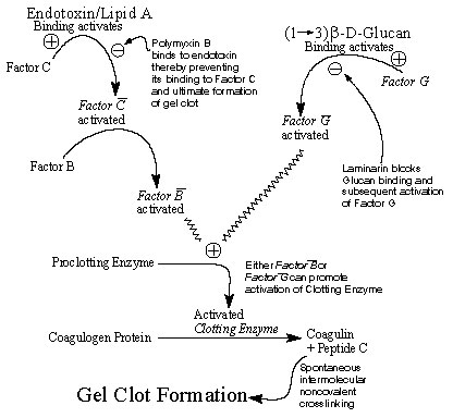 Cascade of biochemical interactions and reactions leading to gel clot formation in the Limulus amebocyte lysate assay. Endotoxin binding to Factor C via the Lipid A moiety results in its activation and in turn the sequential activation of Factor B, which results in the subsequent activation of the proclotting enzyme. Binding of polymyxin B to endotoxin blocks Limulus reactivity in those samples where endotoxin is the initiating molecule. In contrast, (1<!-- INSERT SHAPE PICT -->3)-ß-D-glucans bi