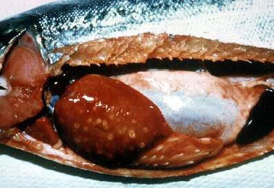 Coho salmon infected with Piscirickettsia salmonis. Note cream- colored lesions on liver, enlarged spleen, pale gills, and hemorrhaged areas within the peritoneal cavity.