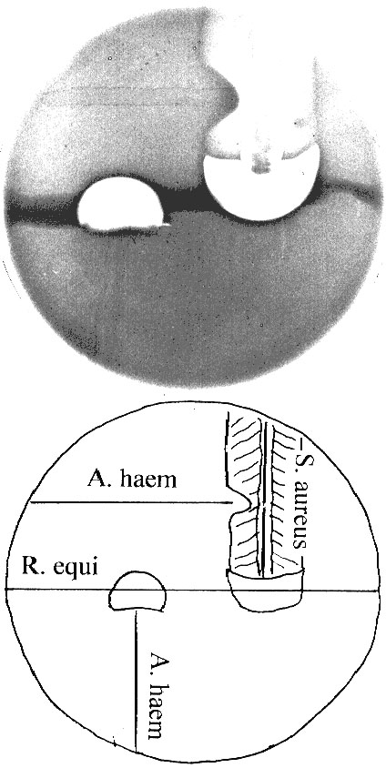 Cooperative (and antagonistic) hemolytic reactions on sheep blood agar, demonstrating cooperative hemolysis between Rhodococcus equi, Arcanobacterium haemolyticum, and Staphylococcus aureus. Partial hemolysis by S. aureus (cross-hatched on diagram) is inhibited in the proximity of A. haemolyticum.