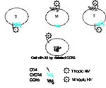 Thumbnail of Chemokine receptors and cell tropism of HIV. Three cell types are illustrated, an in vitro passaged T-cell line (Tl), a monocyte/macrophage (M), and a circulating T-cell (T). T-cell lines express CXCR4 but not CCR5; macrophages and circulating peripheral blood T-cells express both receptors, although the amounts of CXCR4 are lower on macrophages (as indicated by the small CXCR4 symbol). M-tropic HIV, because of certain envelope amino acid sequences, binds to CCR5 and can enter both