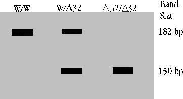Differentiation of CCR5 genotypes by gel electrophoresis. Band patterns of persons with homozygous wild type (W/W), homozygous 32 bp deletion (∆32/∆32) or heterozygous W/∆32 CCR5 genotypes are shown. PCR amplification of the C-terminal of the CCR5 gene, subsequent digestion with the EcoRI restriction enzyme, and agarose gel electrophoresis of the digested DNA yield a 182 bp band for the wild type CCR5 gene, a 150 bp band for the 32 allele, and both bands in the case of a heterozygous person.