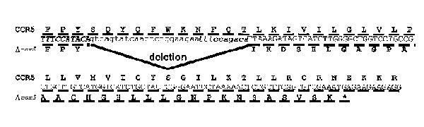 Partial CCR5 gene and amino acid sequence with 32 bp deletion. Nucleotide sequence of the CCR5 gene surrounding the deleted region, and translation into the normal receptor (top lines) or the truncated mutant (∆32 CCR5, bottom lines). The 10-bp direct repeat is represented in bold italics and the deleted nucleotides are represented in noncapitalized font.