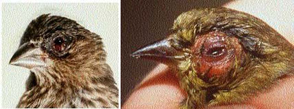 MG isolates have been made from songbirds with clinical signs and gross lesions characterized by mild to severe unilateral or bilateral conjunctival and periorbital swelling with serous to mucopurulent drainage and nasal exudate. Typical gross lesions in a) a female house finch (Carpodacus mexicanus) (photo courtesy of D. Earl Green, State of Maryland, Department of Agriculture, College Park, MD) and b) an American goldfinch (Carduelis tristis) (photo by K. Joyner, College of Veterinary Medicine