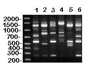 RAPD (method I) patterns of MG vaccine (lanes 1-3) and reference (lanes 4-6) strains. DNA base pair size standards are shown on the left. Lane 1 = ts-11; lane 2 = F; lane 3 = 6/85; lane 4 = R; lane 5 = S6; and lane 6 = A5969. Use of RAPD method I on these MG strains resulted in unique banding patterns that can be easily distinguished from one another.