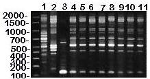 RAPD (method II) patterns of MG vaccine strains (lanes 1-2) and isolates from house finches (lanes 4-11), and M. imitans type strain (lane 3). DNA base pair size standards are shown on the left. Lane 1 = ts-11; lane 2 = 6/85; lane 3 = M. imitans; lane 4 = K3839; lane 5 = K4013; lane 6 = K4013; lane 7 = K4117; lane 8 = 7994; lane 9 = 1652442; lane 10 = K4058; lane 11 = K4269. An additional RAPD primer set (method II) was used to determine whether method I accurately determined MG strain identitie