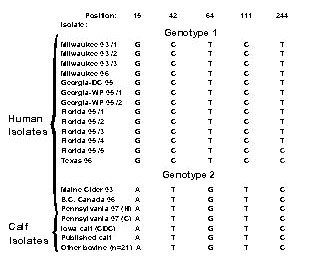 Alignment of TRAP-C2 nucleotide positions that show polymorphism among Cryptosporidium parvum isolates from human and nonhuman sources. Published calf sequence refers to Genbank accession number X77586. Other bovine (n=21) refers to 21 samples (from Georgia, Alabama, Ohio, Oklahoma, Kansas, Iowa, Idaho, Utah, and Washington) that had the same genotype.
