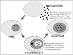 Thumbnail of Protease targets in erythrocytic malaria parasites. The Plasmodium falciparum erythrocytic life cycle is shown schematically, and data supporting cysteine (CP), serine (SP), and aspartic (AP) proteases of the different parasite stages as chemotherapeutic targets are provided in italics.