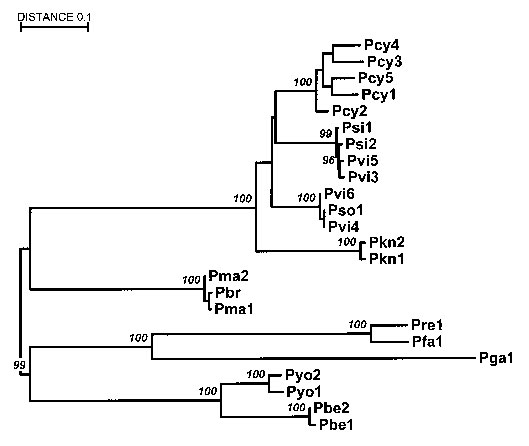 Relationships between primate and human parasites: Malaria phylogeny based on the circumsporozoite protein gene. The alignment does not include the central repeat region. P. falciparum (Pfa), P. vivax (Pvi), and P. malariae (Pma) are from humans; P. cynomolgi (Pcy), P. simiovale (Pso), and P. knowlesi (Pkn) are from macaques; P. simium (Psi) and P. brasilianum (Pbr) are from New World monkeys; P. reichenowi (Pre) is from chimpanzees; P. gallinacium (Pga) is from birds; and P. berghei (Pbe) and P
