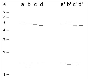 Prior to alignment of two sets of 2-banders, lanes are difficult to cluster (lanes a-d are from the distributions in Figure 4a and b). Subsequent to alignment, lanes are much easier to cluster (lanes a' and b' are specific examples from the distributions in Figure 4e and ff; lanes c' and d' likewise correspond to Figure 4g and h). Fragment lengths are given in kilobasepairs (kb).