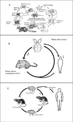 Thumbnail of Composite diagram of the life cycle of Rocky Mountain spotted fever, rickettsialpox, and murine typhus. A. Life cycle of Rickettsia rickettsii in its tick and mammalian hosts (7); B. Rickettsia akari life cycle; and C. Rickettsia typhi life cycle.