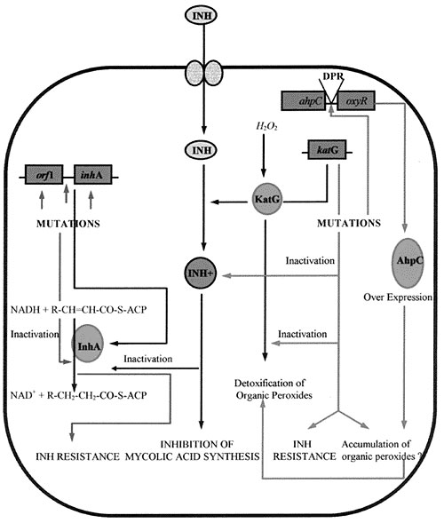 Mechanism of action of isoniazid (INH); acquisition of resistance and combating oxidative stress. DPR, divergent promoter region.