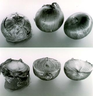 B. cepacia causes an onion rot known as slippery skin (1). The onions shown were inoculated with three strains of B. cepacia. Rot occurred in onion1 (left), which was inoculated with strain originally isolated from onions. Rot did not occur with environmental isolates tested or with strains from CF lung.