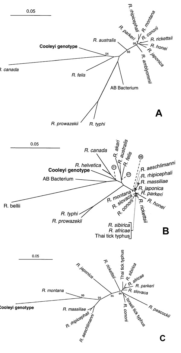 Unrooted phylogenetic trees showing relationship of Cooleyi genotype to other rickettsiae. Scale bar represents genetic distance of 5% by using the Jukes-Cantor formula. Bootstrap values were derived by using the Fitch algorithm. Circled bootstrap values are for nodes indicated by the dashed line. Dotted lines show the actual position of some closely related spotted fever group species. A. 17 kDa. B. gltA. C. rompA. A 10-μl aliquot of phenol:chloroform-extracted DNA was used as a template to amp