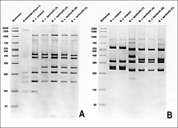 A. Polymerase chain reaction-restriction fragment length polymorphism (PCR-RFLP) analysis of the 16S rRNA gene of B. vinsonii subsp. berkhoffii isolates using Dde I demonstrating differentiation between subspecies of B. vinsonii. B. PCR-RFLP analysis of the 16S-23S intergenic spacer region of B. vinsonii subsp. berkhoffii isolates using Hae III. Strain differences were detected between B. vinsonii subsp. berkhoffii (T), which was the type strain cultured from a dog with endocarditis, and isolates A (described in this report), B, and C from subclinically infected dogs.