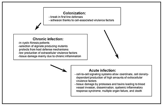 Model of the different phases of Pseudomonas aeruginosa infection. After an initial colonization phase, mostly dependent on cell-associated virulence factors, the infectious process evolves either to a chronic infection characterized by low production of extracellular virulence factors or to an acute infection characterized by high production of cell-to-cell signaling dependent virulence factors. During acute exacerbation of chronic infection, the production of cell-to-cell signaling dependent v