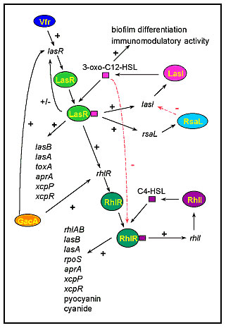 The cell-to-cell signaling circuitry of P. aeruginosa. The las cell-to-cell signaling system controls the rhl cell-to-cell signaling system in a hierarchy cascade. The LasR/3-oxo-C12-HSL complex activates the transcription of rhlR, and 3-oxo-C12-HSL blocks the activation of RhlR by C4-HSL. The las system itself is controlled positively by Vfr and GacA, and negatively by RsaL. 3-oxo-C12-HSL is required for biofilm differentiation and has immunomodulatory activity. Both cell-to-cell signaling syst
