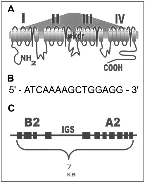 "Examples (drawn from references cited in the text) of biochemical resistance mechanisms on the molecular level. A. Single amino acid mutation in the IIS6 membrane-spanning region of the sodium channel gene that confers target-site DDT-pyrethroid resistance in Anopheles gambiae. The same mutated codon produces resistance in insects as diverse as mosquitoes, cockroaches, and flies. B. Regulatory element (found upstream of coding sequence) termed the ""Barbie Box"" that allows induction of insecticid"