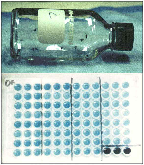 Examples of simple diagnostic assays for insecticide resistance include bioassays run in treated bottles (upper) and biochemical detection and measurement of resistance enzyme activity in microplates (lower).