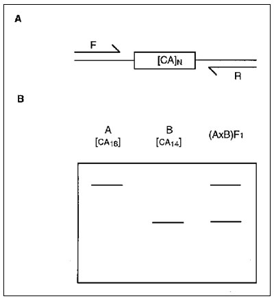 Schematic representation of microsatellite marker analysis in mice. A) Flanking forward (F) and reverse (R) oligonucleotides are designed to specifically amplify a simple sequence repeat by polymerase chain reaction (PCR) (in this case a CA dinucleotide). The length of the dinucleotide (N) varies among inbred mouse strains. B) Gel electrophoresis of a PCR-amplified microsatellite in homozygous parental strains A and B and heterozygous F1 progeny. The larger microsatellite from strain A migrates
