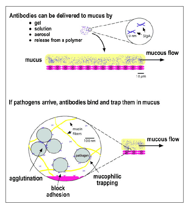 Topical delivery of pathogen-specific MAbs can protect the mucosal epithelium. (Top) Protective MAbs (in this figure, secretory immunoglobulin A; SIgA) can be topically applied to the mucosa in various ways. (Bottom) In mucus, MAbs are believed to act by a number of mechanisms to prevent penetration of the mucous layer and subsequent infection of target cells (62). MAbs can trap pathogens in the mucous gel by forming low affinity bonds with mucin fibers and can agglutinate pathogens into cluster