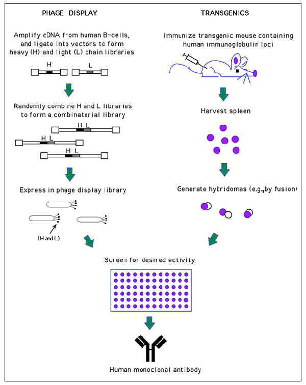 Generation of human monoclonal antibodies. (Phage display) Heavy and light chain cDNA isolated from human B-cells is used to generate a combinatorial library in which random heavy (H) and light chain (L) pairings are expressed on the surface of phage. These phage can then be screened for antigen binding by traditional techniques (e.g., ELISA). Since only the antigen binding region is used in the phage display process, the selected clone is then placed into an appropriate expression vector to pro