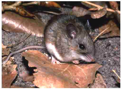 White-footed mouse (Peromyscus leucopus). Photo by R.B. Forbes, Mammal Image Library of the American Society of Mammalogists.