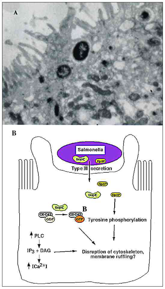 A. Transmission electron micrograph of Salmonella-induced membrane ruffling in polarized Caco-2 epithelial cells. B. Salmonella invasion into host epithelial cells. Salmonella secrete virulence proteins, including SopE and SptP, into host cells by the type III-secretion system. SopE functions as a guanidine exchange factor for small GTP-binding proteins, probably mediating the exchange of GDP for GTP on a Rho subfamily member, CDC42. SptP is a tyrosine phosphatase required for invasion, probably