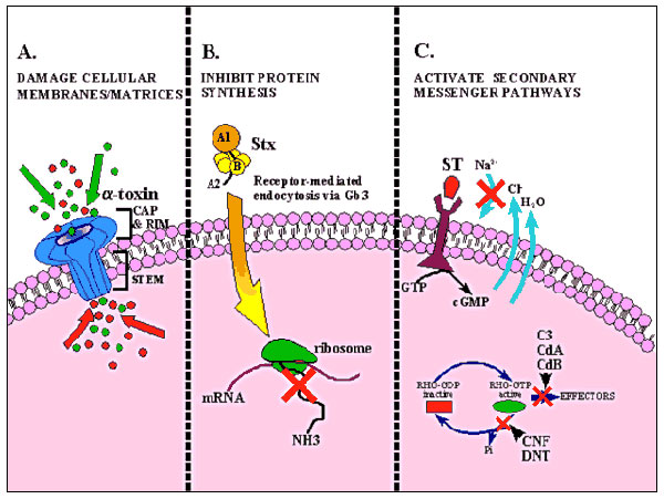 Diagrammatic representation of the mode of action of several bacterial toxins. A. Damage to cellular membranes by Staphylococcus aureus α-toxin. After binding and oligomerization, the stem of the mushroom-shaped α-toxin heptamer inserts into the target cell and disrupts membrane permeability as depicted by the influx and efflux of ions represented by red and green circles. B. Inhibition of protein synthesis by Shiga toxins (Stx). Holotoxin, which consists of an enzymatically active (A) subunit a