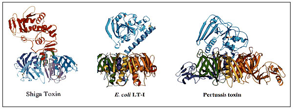 Ribbon crystal structures of Shigella dysenteriae Shiga toxin (20), Escherichia coli heat-labile toxin I (LT-I) (21), and pertussis toxin (22). The Shiga toxin figure was contributed by Marie Frasier. The LT-I and pertussis figures were contributed by Ethan Merritt. The figures were drawn in MOLSCRIPT (75).