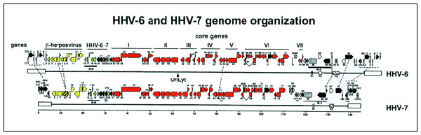 Schematic representation of HHV-6 and HHV-7 genomes. The genomes are colinear. Homologies are 46.6% to 84.9%. Red blocks represent the herpesvirus core genes, numbered from I to VII. Yellow blocks represent ß-herpesvirus subfamily-specific genes (from U2 to U14). Green blocks indicate genes present only in the Roseolovirus genus, i.e., in HHV-6 and HHV-7. Only three ORFs (U22, U83 and U94) are present in HHV-6 and absent from HHV-7 (modified from [15]).