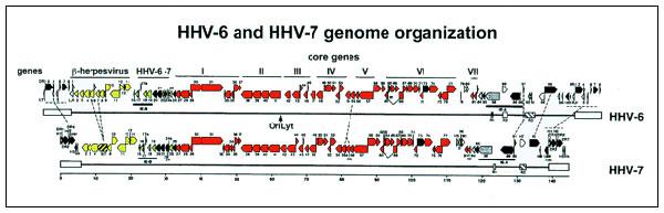 Figure 1 - Human Herpesvirus 6: An Emerging Pathogen