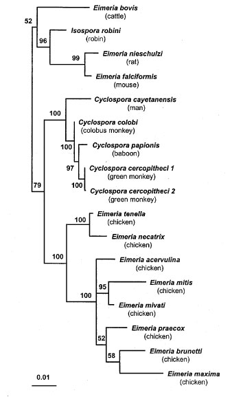 Phylogenetic tree for small subunit ribosomal RNA sequences of Cyclospora and Eimeria species. Quartet puzzling maximum likelihood results are shown, with Toxoplasma gondii as the outgroup. After analysis, the outgroup branch was removed for clarity. Numbers to the left of the nodes indicate the quartet puzzling support for each internal branch. The scale bar indicates an evolutionary distance of 0.01 nucleotides per position in the sequence. Vertical distances are for clarity only. GenBank acce