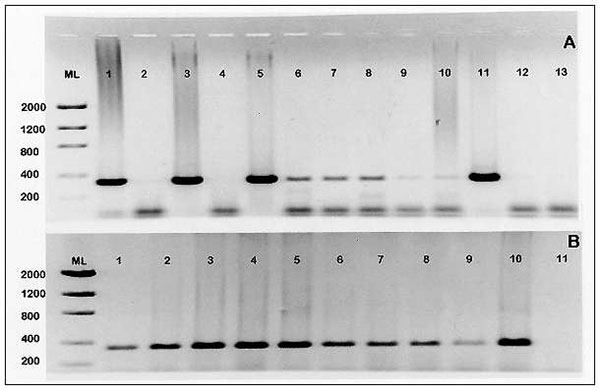 1,2 Panel A. Results of nested Cryptosporidium parvum CP 11 gene PCR performed on pooled oyster hemolymph and gill tissues. Expected PCR product size is 344 bp. Samples analyzed were collected from Maryland Department of Natural Resources oyster harvesting sites at Mt Vernon Wharf (lanes 1-5), Wetipquin (lanes 6-8), Beacon (lane 9), and Holland Point (lane 10). Lane 11: C. parvum positive control. Lanes 12 and 13 are 1° and 2° no template controls, respectively. Panel B: Results of oyster (Crass